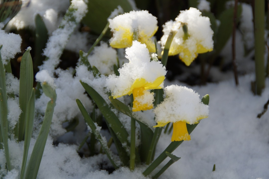 osterglocken-daffodil