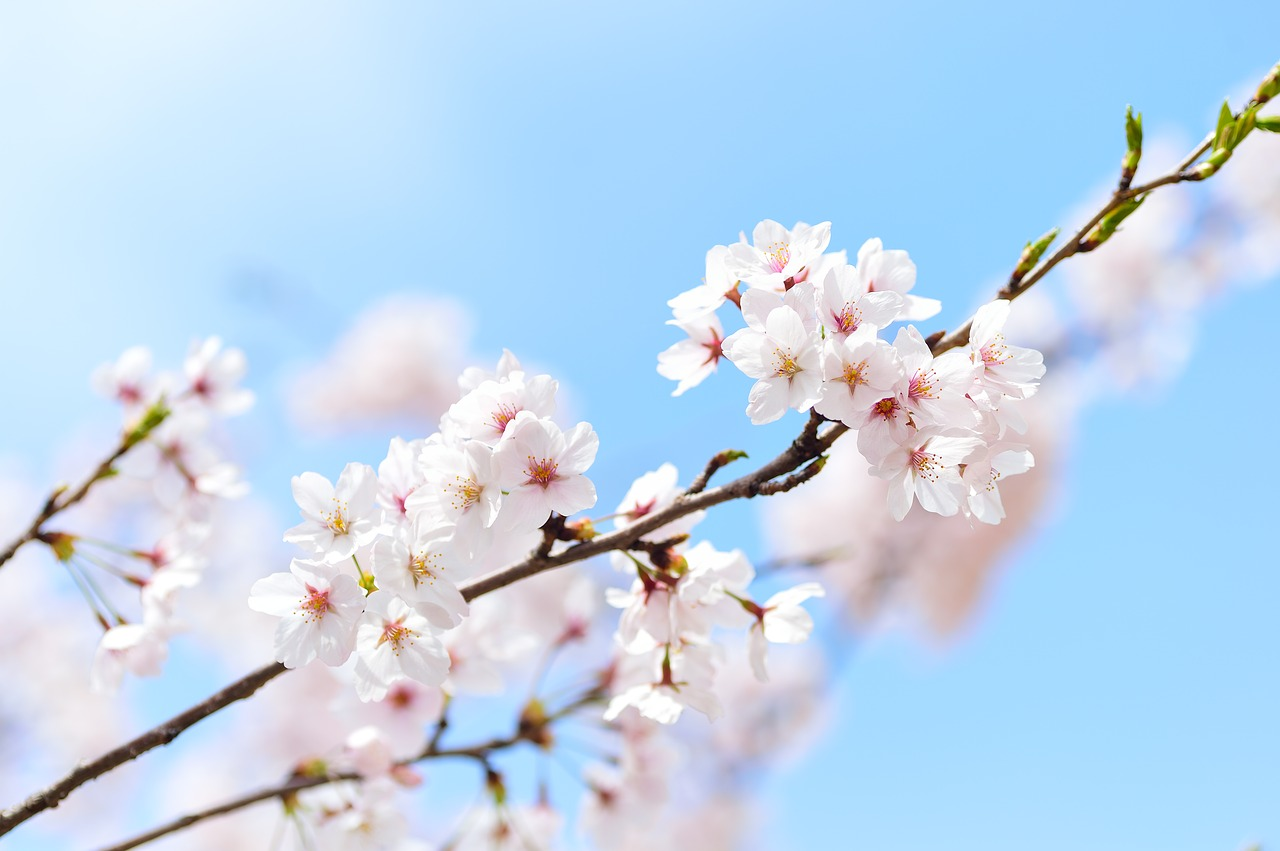 Cherry blossoms on a branch