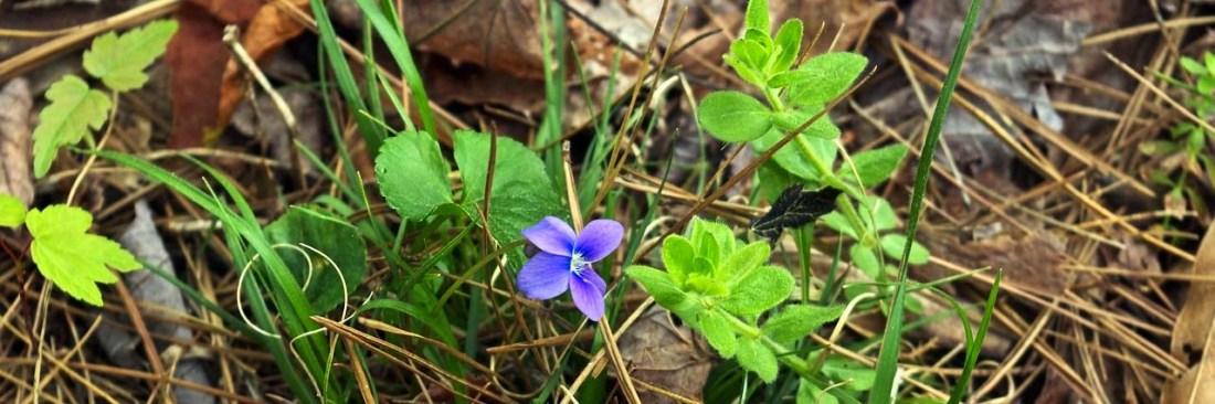 wild-violet