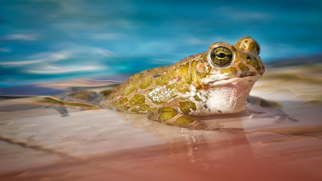 waters-frog