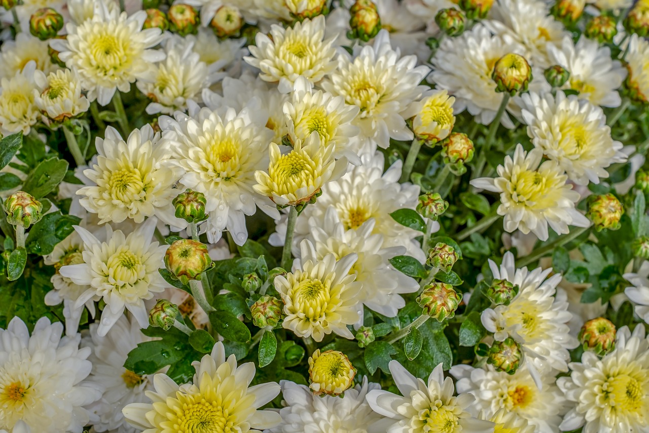mass of white chrysanthemums