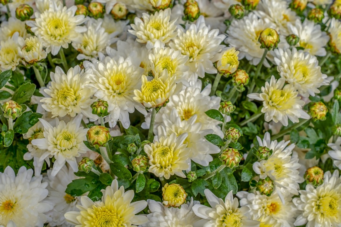 mass of white chrysanthemums